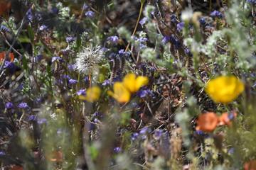 Wildflowers in the Arizona desert in spring