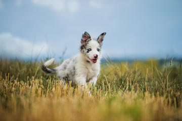 Border collie puppy in a stubblefield