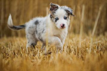 Border collie puppy walking in a stubblefield