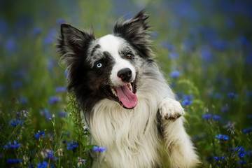 Border collie in a cornflower field lift the paw