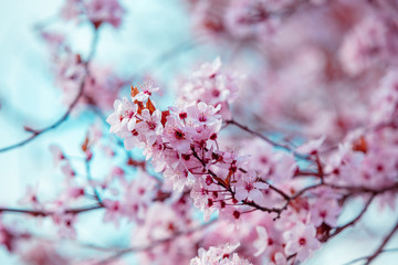 Colorful blooming cherry tree branch. Cherry orchard