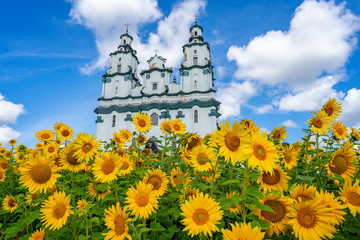 Garden of beautiful sunflowers, flowers. Bialystok Fototapete