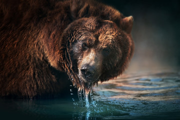 Brown bear close up portrait drinking water