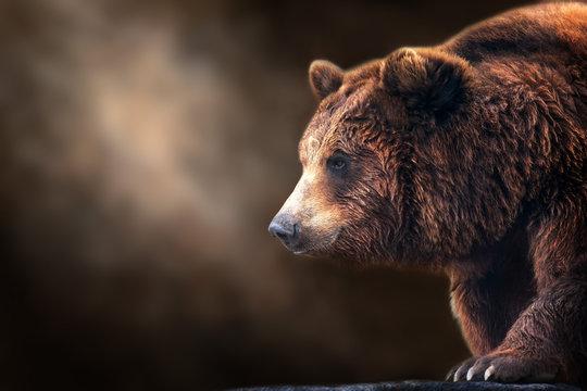 Brown bear close up portrait on dark background