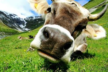 Foto auf Gartenposter Kuh Ein hübsches junges Braunvieh mit Hörnern im Gebirge. Eine neugierige Kuh