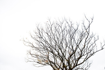 Dry tree without leaves isolated on white