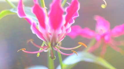 Fotoväggar - Gloriosa lily flower blooming in a garden closeup. Pink climber Gloriosa flowers in sun light. Gardening. Slow motion. 4K UHD video footage 3840X2160