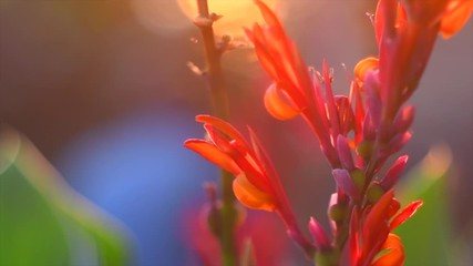 Fotoväggar - Canna lily flower blooming in a garden over sunset background. Bright red Canna flowers closeup. Cannalilly. Slow motion. 4K UHD video footage 3840X2160