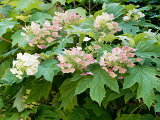 Hydrangea quercifolia | Oakleaf hydrangea or oak-leaved hydrangea with creamy white, pink-tinged, cone-shaped flowerheads and foliage in summer