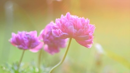 Fotoväggar - Ranunculus flowers blooming in a garden closeup. Pink Anemone flowers in sun light. Slow motion. 4K UHD video footage 3840X2160