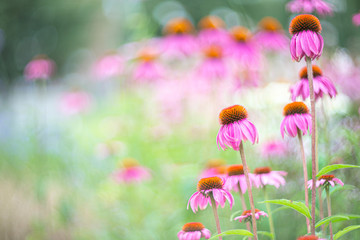 Echinacea Purpurea - Coneflower, photographed with a vintage lens Wall mural