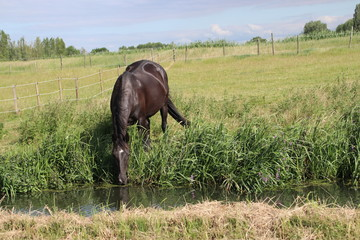 Brown horses on farmland in Nieuwerkerk aan den IJssel in the Netherlands