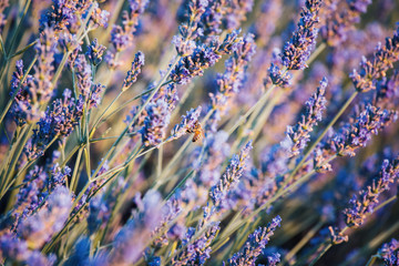 Lavender flowers close up, Provence, France. Sunset warm light and bee