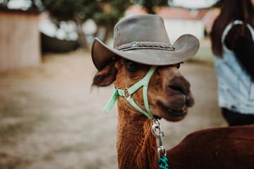 Alpaka mit Hut