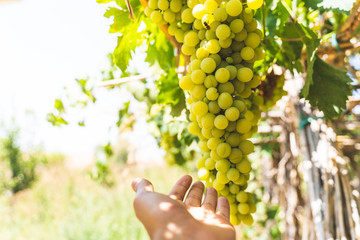 Hands Touching Green Grapes Fruit Plants Outdoors By Sunset.