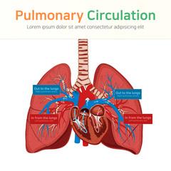 Pulmonary circulation. Blood circulation