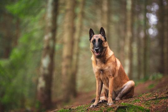 Belgian shepherd dog in natural environment, wood, autumn leaves