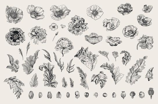 Vintage vector botanical illustration. Set. Poppies of various varieties. Flowers, leaves, buds. Black and white