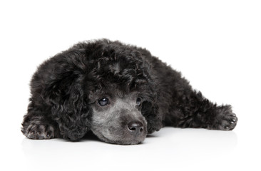 Wall Mural - Toy poodle on white background