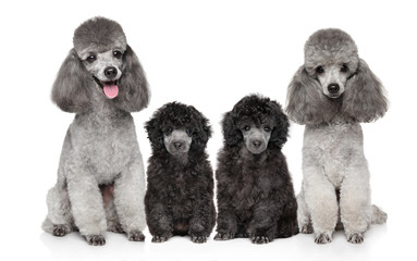 Wall Mural - Family of Grey Poodles on white background