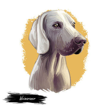 Weimaraner or Grey Ghost dog breed portrait isolated on white. Digital art illustration, animal watercolor drawing of hand drawn doggy. Pet has short, hard and smooth to touch coat silver grey color