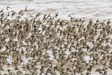Huge Flock of Semipalmated Sandpipers Flying Over Water of Fundy Bay