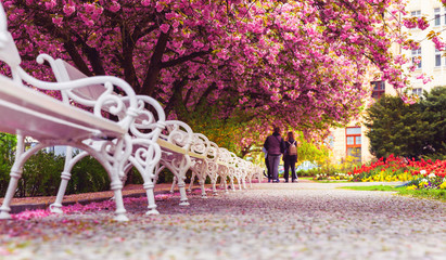 Empty park with blossom sakura and benches