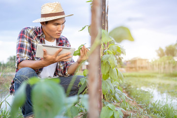 Young Asian farmer using tablet and checking his plant or vegetable (Asparagus bean or Cowpea)