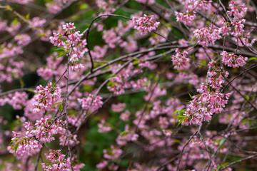 Cherry Blossom - Sakura flower - Japanese cherry, Prunus serrulata