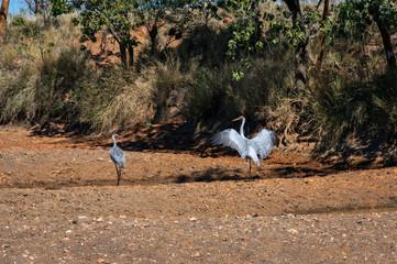 Australian Brolga couple court at a swamp in Western Australia