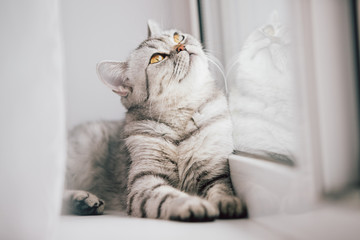A Scottish or British cat with a marbled black and white color is resting on a white windowsill on a bright sunny day. Fototapete
