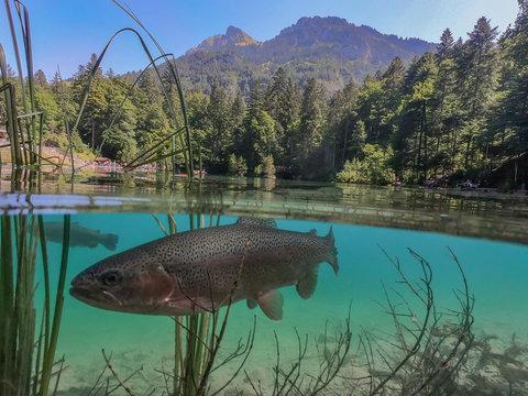 Blausee mit Forelle, Schweiz - Unter- und Oberwasser