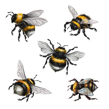 watercolor illustration, assorted bumblebees, wild insect clip art, isolated on white background