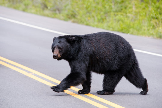 Black bear crossing the road
