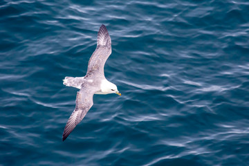 Seagull flying over the surface of the ocean.