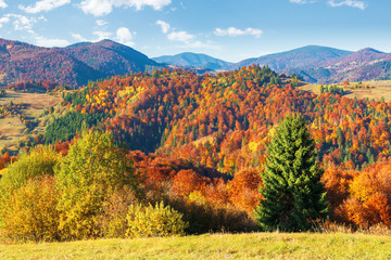 trees in colorful foliage. beautiful carpathians. wonderful autumn landscape of mountainous countryside. sunny warm weather with clouds on the sky