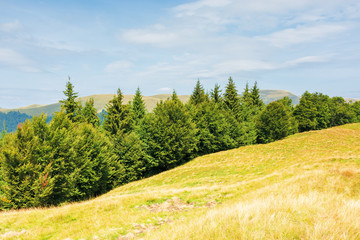 mixed forest on a grassy hill. beautiful summer landscape. bright sunny weather. svydovets mountain ridge in the distance