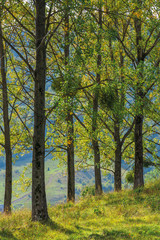 poplar trees on the hill in the afternoon light. beautiful autumn nature scenery