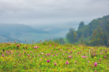 grassy meadow with clover flowers. lovely countryside rural background. gloomy morning with overcast sky