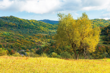 Foto op Canvas Meloen tree in yellow foliage on the meadow. beautiful countryside landscape on a sunny day with fluffy clouds on the sky. carpathian rural area in autumn