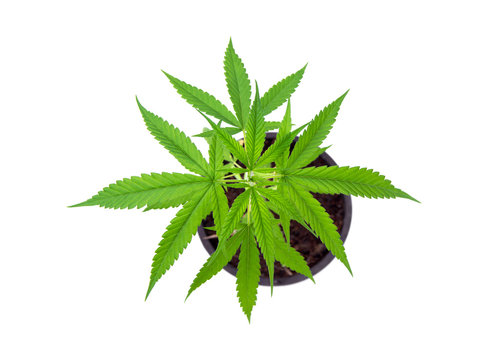 Top view of plants Cultivation Marijuana tree. Cannabis seedlings sativa in black plastic pots isolated on white background.