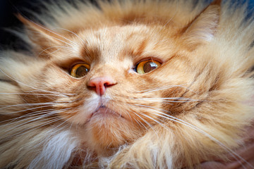 Intimidating ginger cat looking down into the camera with condescending look