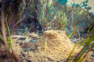 Closeup view of an anthill in Australia with shallow focus
