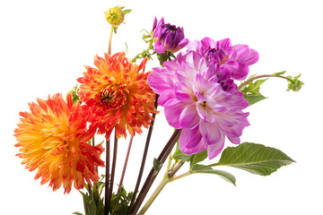 Poster de jardin Dahlia Orange and pink dahlia flowers isolated on a white background