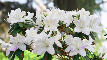 Flowers bloom azaleas, white rhododendron buds on green background
