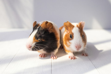 Closeup portrait of cute couple of sweet baby guinea pigs of several monthes old sitting on sunny wooden rustic background. Horizontal color photography.