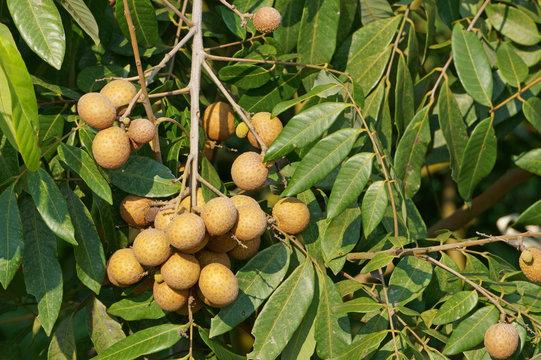 Ripe longan fruits hanging on tree in the garden. Dimocarpus longan