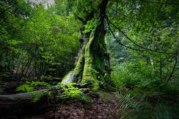 Europäischer Urwald - alter, moosbewachsener Baum im Reinhardswald