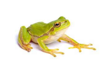 Photo sur Plexiglas Grenouille Green tree frog isolated on white