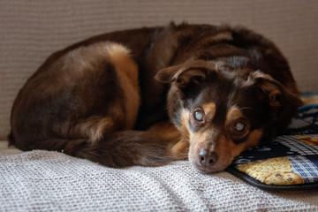 Diabetic blind dog Fotobehang
